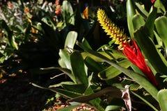 Rote und gelbe Bromelie-Blume, die in Sun glitzert lizenzfreie stockfotos