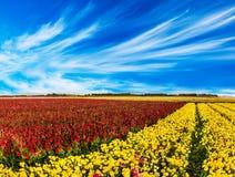 Rote und gelbe Butterblumeen /ranunculus stockfoto