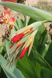 Rote und gelbe Canna-Blumen-Knospen Stockfotos