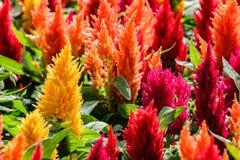 Rote und gelbe Celosiablume im Sonnenlicht am Morgen Lizenzfreie Stockfotografie