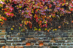Rote und gelbe Efeukriechpflanze auf Hausziegelstein-Zaunwand Lizenzfreie Stockfotos