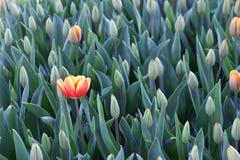 Rote und gelbe einsame Tulpe stockfoto