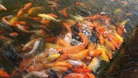 Rote und gelbe Fische stock video footage