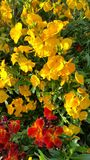 Rote und gelbe Goldlacke Stockfoto