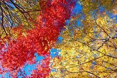 Rote und gelbe japanische Ahornbäume Lizenzfreie Stockbilder