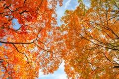 Rote und gelbe Kronen von Herbstbäumen lizenzfreie stockbilder