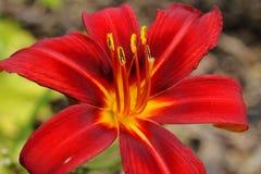 Rote und gelbe Lilie in einem Garten Lizenzfreies Stockbild