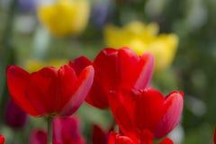 Rote und gelbe Mohnblumen Lizenzfreie Stockbilder