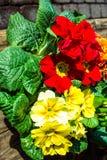 Rote und gelbe Pansies Stockfotografie