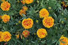 Rote und gelbe Ringelblumenblume Lizenzfreie Stockfotografie