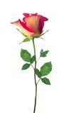 Rote und gelbe Rose lokalisierte Stockfotografie