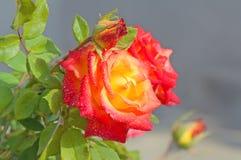 Rot-gelbe Rose mit den Knospen Lizenzfreie Stockfotografie