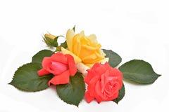 Rote und gelbe Rosen und Blätter (lateinischer Name: Rosa) Stockbilder