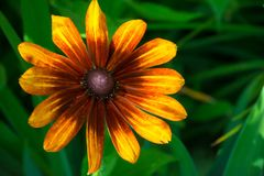 Rote und gelbe Sonnenblume Stockbild