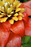 Rote und gelbe tropische blühende Pflanze Stockfotos