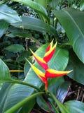 Rote und gelbe tropische Blume Lizenzfreies Stockfoto