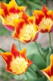 Rote und gelbe Tulpe Lizenzfreie Stockfotos