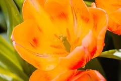Rote und gelbe Tulpe offen nach dem Regen stockfoto