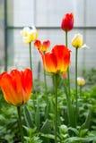 Rote und gelbe Tulpen stockfoto