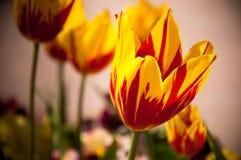 Rote und gelbe Tulpen. Lizenzfreie Stockfotos