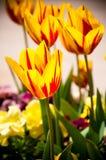 Rote und gelbe Tulpen. Lizenzfreies Stockbild