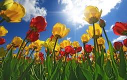 Rote und gelbe Tulpen Stockfotos