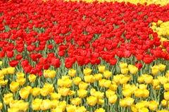 Rote und gelbe Tulpen Stockfotografie