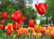 Rote und gelbe Tulpen Lizenzfreies Stockbild