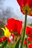 Rote und gelbe Tulpen Stockbilder