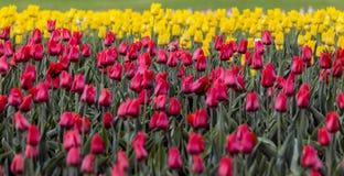 Rote und gelbe Tulpen Lizenzfreie Stockfotografie