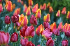 Rote und gelbe Tulpen auf dem Gebiet stockbild