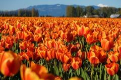 Rote und gelbe Tulpen auf dem Horizont Stockbilder