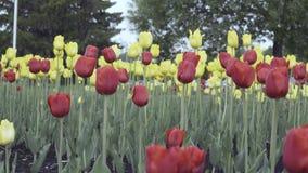 Rote und gelbe Tulpen auf einem Blumenbeet stock video