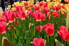 Rote und gelbe Tulpen bei Tulip Time Festival in Holland Michigan Stockfotos