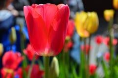 Rote und gelbe Tulpen bei Tulip Time Festival in Holland Michigan Lizenzfreies Stockfoto