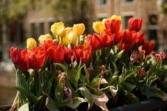 Rote und gelbe Tulpen blühen in einem Blumenkasten in Amsterdam Lizenzfreie Stockfotografie