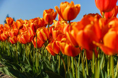 Rote und gelbe Tulpen, die sich im Frühjahr öffnen Lizenzfreie Stockbilder