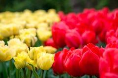 Rote und gelbe Tulpen im Garten Stockbilder