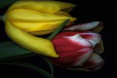 Rote und gelbe Tulpen mit weichem Licht lizenzfreie stockbilder