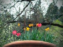 Rote und gelbe Tulpen und Narzissen im Weinlesetopf im Garten lizenzfreies stockfoto