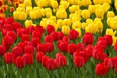 Rote und gelbe Tulpen. Tulpen. Lizenzfreie Stockfotografie