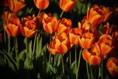 Rote und gelbe Tulpen in voller Blüte Stockfotos