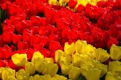 Rote und gelbe Tulpen von Holland Lizenzfreies Stockfoto