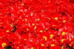 Rote und glänzende Tulpe unter der Sonne lizenzfreie stockbilder