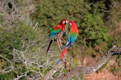 Rote und grüne Keilschwanzsittiche, Ara Chloropterus, Buraco DAS Araras, nahe Blaufisch, Pantanal, Brasilien lizenzfreie stockbilder