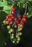 Rote und grüne Korinthe, die in einem Sommergarten wächst Stockbild