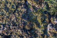 Rote und grüne Meerespflanze auf dem Felsen an kalim Strand Stockfoto