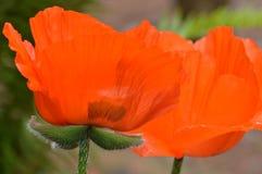 Rote und grüne Mohnblumenblume Stockfotos