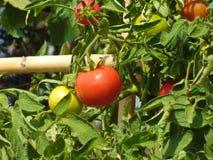 Rote und grüne Tomateänderung am objektprogramm Lizenzfreies Stockbild