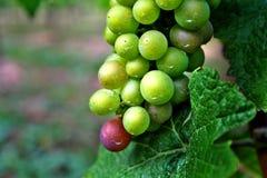 Rote und grüne Weintrauben lizenzfreie stockfotos